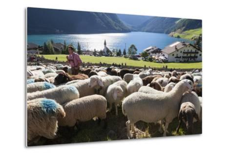 Sheep in the Alps Between South Tyrol, Italy, and North Tyrol, Austria-Martin Zwick-Metal Print