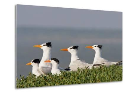 Royal Tern (Sterna Maxima) Nesting in a Colony, Texas, USA-Larry Ditto-Metal Print