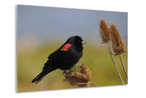 Male Red-Winged Blackbird, Ridgefield NWR, Ridgefield, Washington, USA-Michel Hersen-Metal Print
