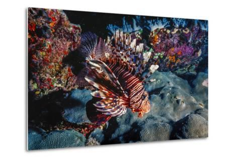 Lionfish at Daedalus Reef (Abu El-Kizan), Red Sea, Egypt-Ali Kabas-Metal Print