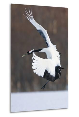 Japanese Crane, Hokkaido, Japan-Art Wolfe-Metal Print