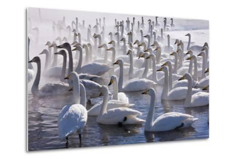 Whooper Swans, Hokkaido, Japan-Art Wolfe-Metal Print