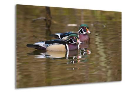 Wood Ducks, British Columbia, Canada-Art Wolfe-Metal Print