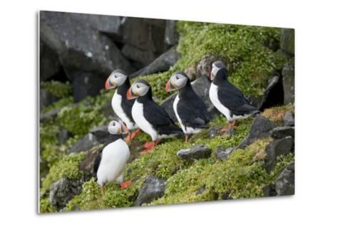 Atlantic Puffin, Sassenfjorden, Spitsbergen, Svalbard, Norway-Steve Kazlowski-Metal Print