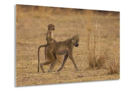 Chacma Baboons, South Luangwa National Park, Zambia-Art Wolfe-Metal Print
