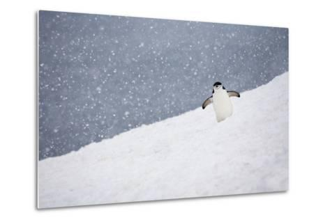 Portrait of a Chinstrap Penguin, Pygoscelis Antarctica, in a Snow Shower-Ira Meyer-Metal Print