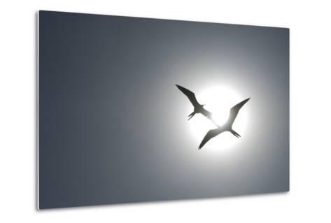 Magnificent Frigatebirds in Flight over Isla Iguana-Michael Melford-Metal Print