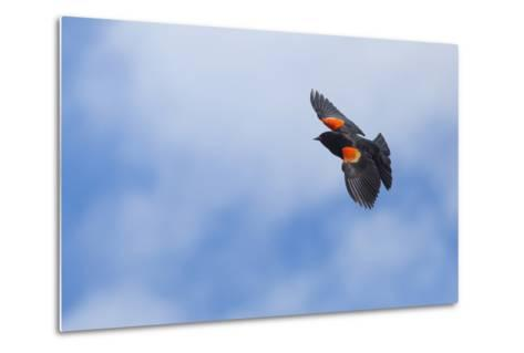 Red-Winged Blackbird (Agelaius Phoeniceus) in Flight, Washington, USA-Gary Luhm-Metal Print