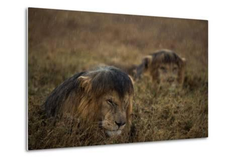 Adult Male Lions Lie Side by Side During an Afternoon Rain Shower in Serengeti National Park-Michael Nichols-Metal Print