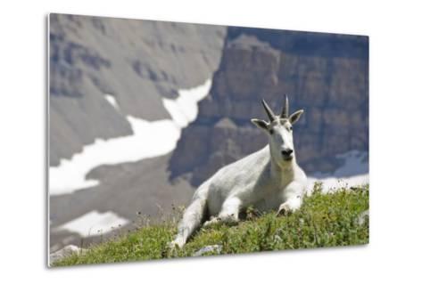 Mountain Goat, Mount Timpanogos Wilderness, Wasatch Mountains, Utah-Howie Garber-Metal Print
