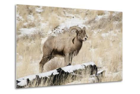 Big Horn Ram, North Fork Shoshone River, Near Cody, WYoming-Howie Garber-Metal Print