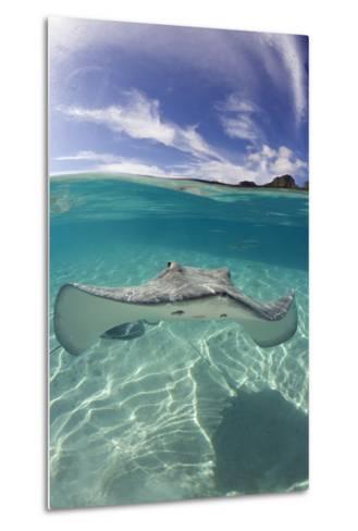 Tahitian Stingray in French Polynesia-Stephen Frink-Metal Print
