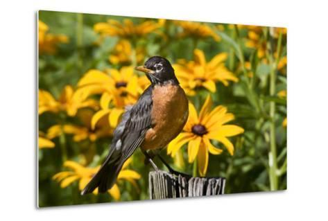 American Robin on Fence Post in Garden, Marion, Illinois, Usa-Richard ans Susan Day-Metal Print