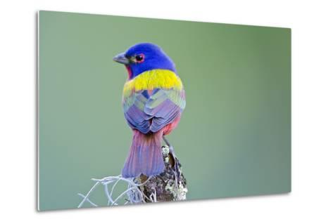 USA, Florida, Immokalee, Male Painted Bunting Perched on Branch-Bernard Friel-Metal Print