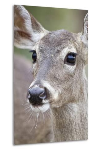 White-Tailed Deer Doe Drinking Water Starr, Texas, Usa-Richard ans Susan Day-Metal Print