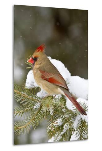 Northern Cardinal in Spruce Tree in Winter, Marion, Illinois, Usa-Richard ans Susan Day-Metal Print