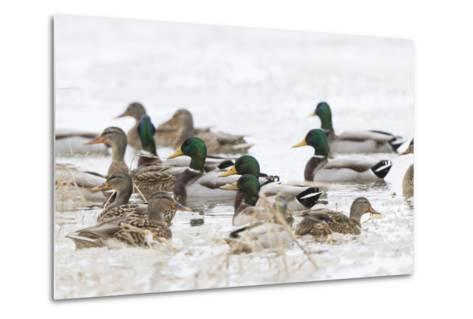Mallards in Wetland in Winter, Marion, Illinois, Usa-Richard ans Susan Day-Metal Print