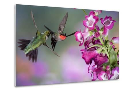 Ruby-Throated Hummingbirds at a Penstemon. Marion, Illinois, Usa-Richard ans Susan Day-Metal Print