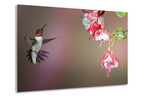 Ruby-Throated Hummingbird Male at Fuschia, Marion, Illinois, Usa-Richard ans Susan Day-Metal Print