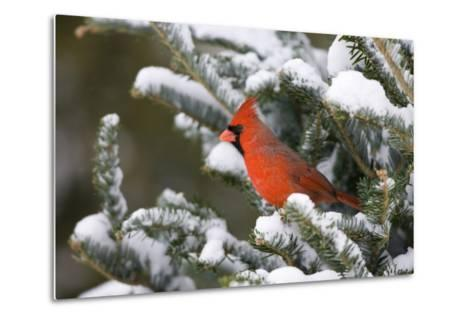 Northern Cardinal in Balsam Fir Tree in Winter, Marion, Illinois, Usa-Richard ans Susan Day-Metal Print