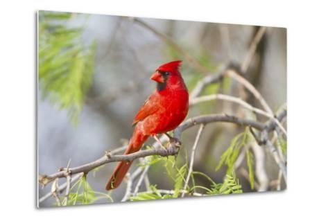Northern Cardinal Male Starr, Texas, Usa-Richard ans Susan Day-Metal Print
