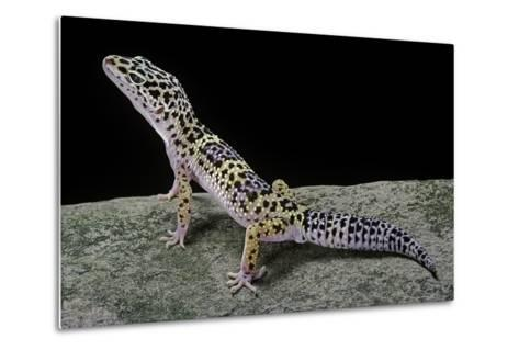 Eublepharis Macularius (Leopard Gecko)-Paul Starosta-Metal Print