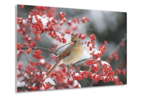 Northern Cardinal in Common Winterberry, Marion, Illinois, Usa-Richard ans Susan Day-Metal Print