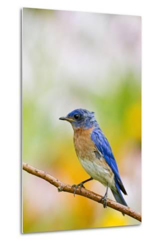 Eastern Bluebird Male in Flower Garden, Marion, Illinois, Usa-Richard ans Susan Day-Metal Print