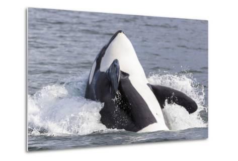 USA, Alaska. Orca Whale Breaching-Jaynes Gallery-Metal Print