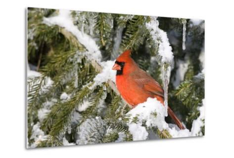 Northern Cardinal on Serbian Spruce in Winter, Marion, Illinois, Usa-Richard ans Susan Day-Metal Print