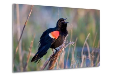 Red-Winged Blackbird Male Singing in Wetland Marion, Illinois, Usa-Richard ans Susan Day-Metal Print