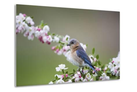 Eastern Bluebird Female in Crabapple Tree, Marion, Illinois, Usa-Richard ans Susan Day-Metal Print