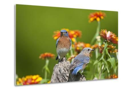 Eastern Bluebirds on Fence Post, Holmes, Mississippi, Usa-Richard ans Susan Day-Metal Print