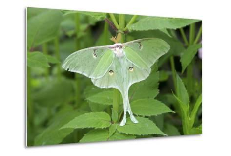 Luna Moth, Marion Co. Il-Richard ans Susan Day-Metal Print