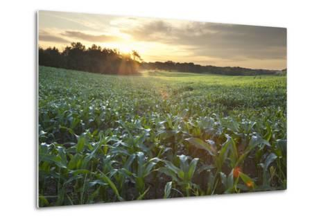 Field of Young Corn at Sunrise-DWStock-Metal Print