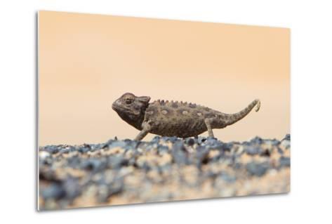 Namaqua Chameleon Hunting in the Namib Desert-Micha Klootwijk-Metal Print