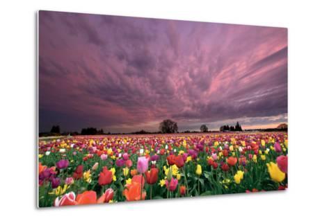 Sunset over Tulip Field-jpldesigns-Metal Print