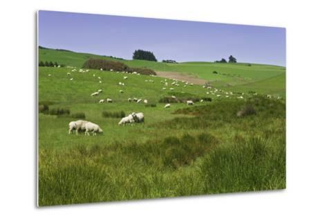 Sheep Grazing in Green Field Near Dunedin, South Island, New Zealand-Jaynes Gallery-Metal Print