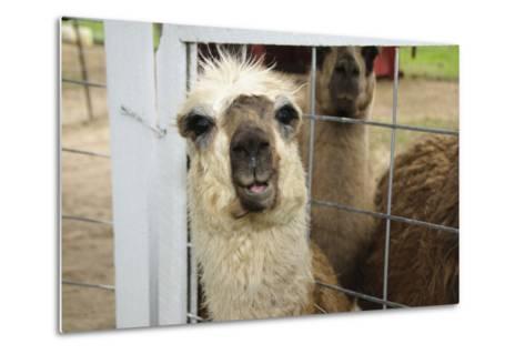 Llama (Lama Glama) Looking into Camera-Matt Freedman-Metal Print