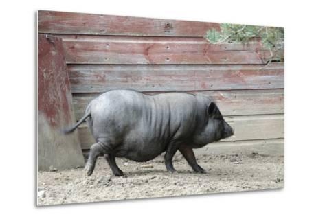 Adult Black Pot Pellied Pig Walking on Farm-Matt Freedman-Metal Print