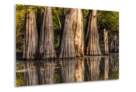 Bald Cypress in Water, Pierce Lake, Atchafalaya Basin, Louisiana, USA-Alison Jones-Metal Print
