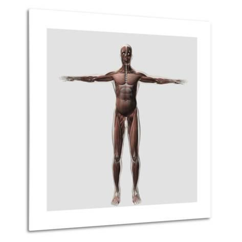 Anatomy of Male Muscular System, Front View--Metal Print