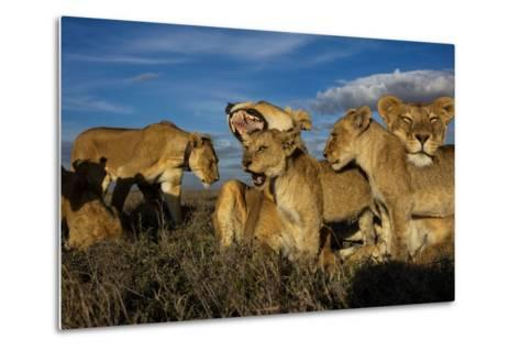 Older Cubs are Raised Together as a Creche, or Nursery Group-Michael Nichols-Metal Print