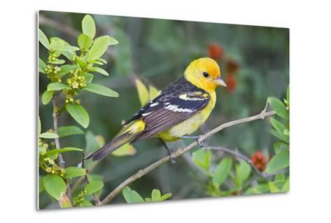 Western Tanager (Piranga Ludoviciana) Male in Spring, Texas, USA-Larry Ditto-Metal Print