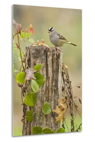 White-Crowned Sparrow (Zonotrichia Leucophrys) Foraging, Texas, USA-Larry Ditto-Metal Print