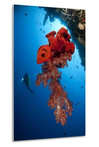 Diver Looks on at a Bright Red Soft Coral and Sponge Hanging from a Cave--Metal Print