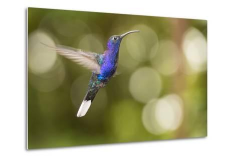 A Violet Sabrewing Hummingbird, Campylopterus Hemileucurus, in Flight-Michael Melford-Metal Print