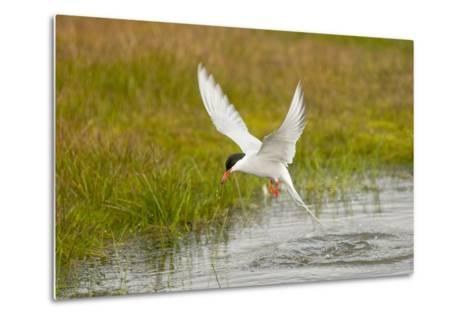 Arctic Tern Fishing, Longyearbyen, Spitsbergen, Svalbard, Norway-Steve Kazlowski-Metal Print