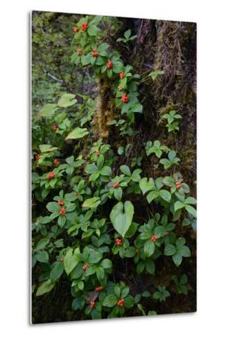 Bunchberries in the Rain Forest Near Petersburg-Michael Melford-Metal Print