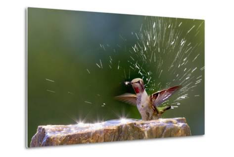 Anna's Hummingbird Taking a Shower, Santa Cruz, California, USA-Tom Norring-Metal Print